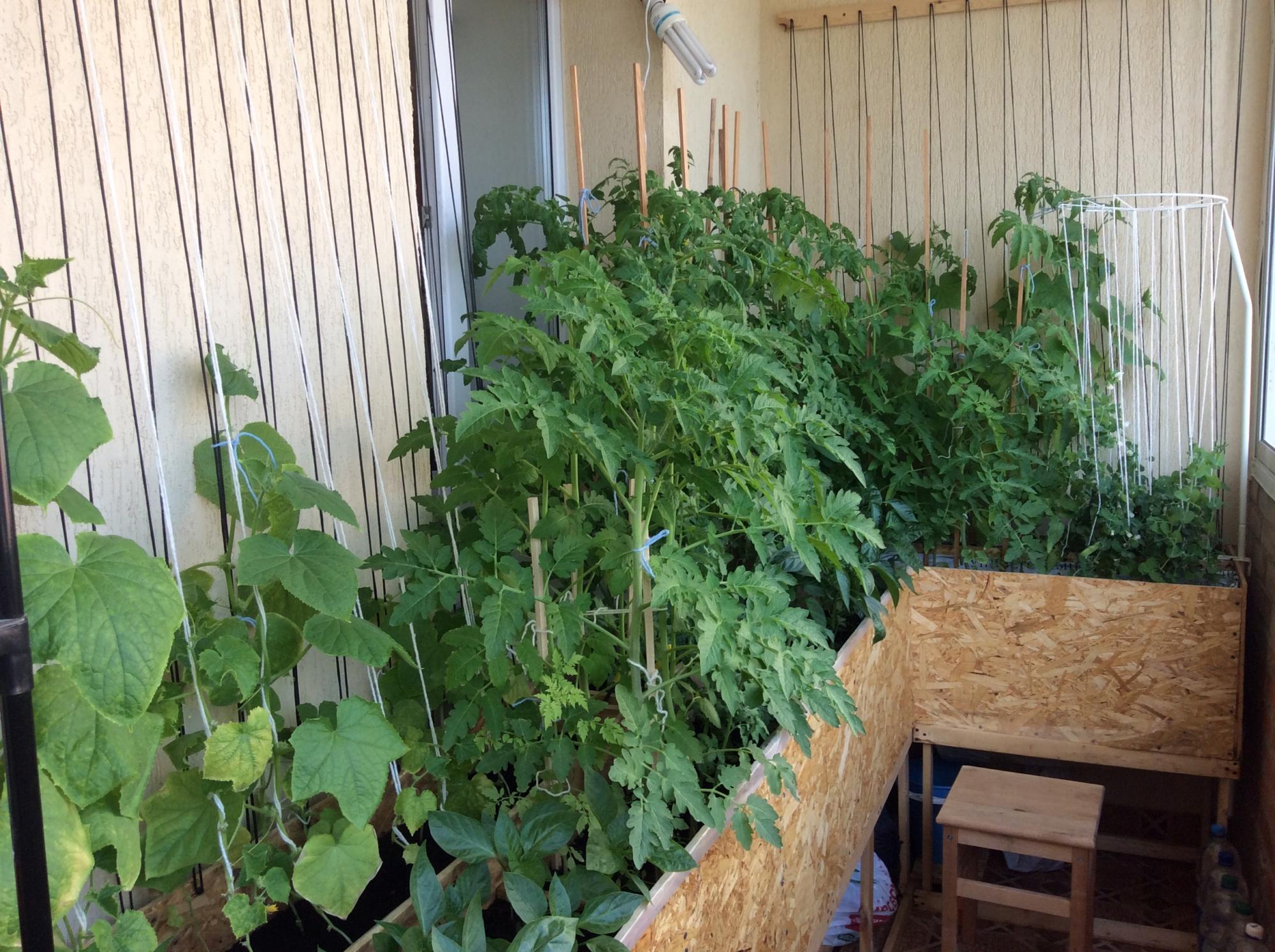 Овощи на балконе своими руками 763