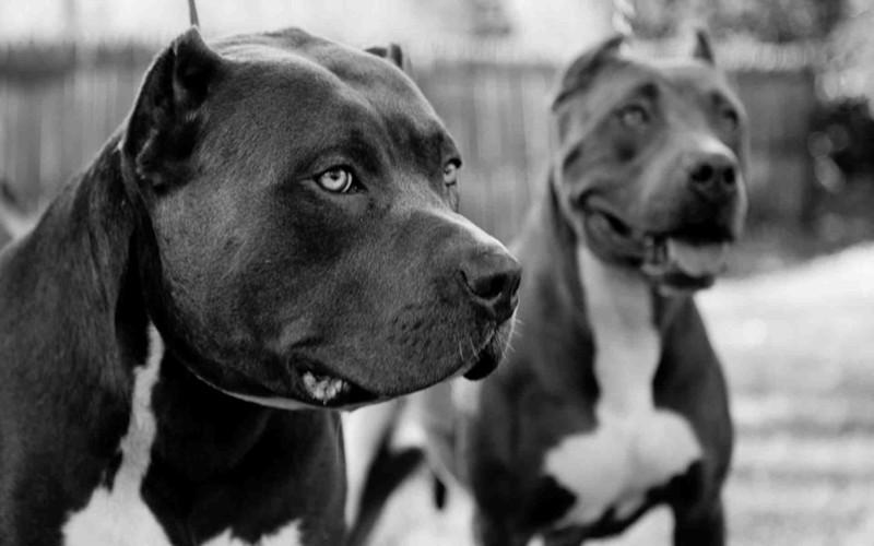 25 самых опасных пород собак животные, опасность, собаки, человек