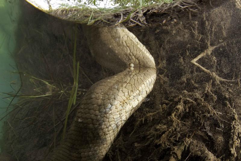 Удивительные фотографии гигантской анаконды анаконда, дайвер, экстрим