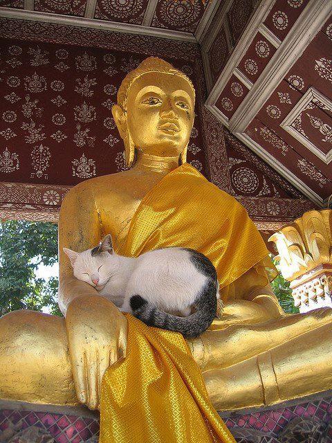 Коты-буддисты: гармония и единение буддизм, животные, коты, прикол