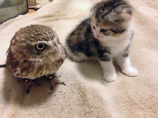 Неразлучные совенок и котик животные, котенок, коты, сова