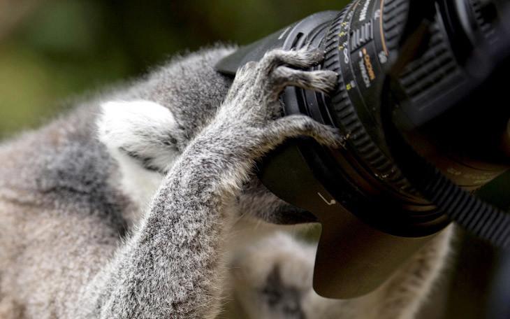 Настоящий фотограф. Лемур осматривает камеру в Эдинбургском зоопарке. животные, жизнь, фото