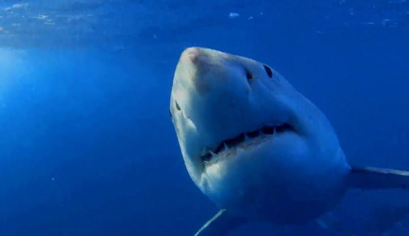 Акулы-металлистки. животные, жизнь, фото