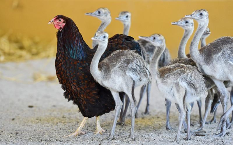 Непохожие. Курица и нанду — эндемики открытых пространств Южной Америки. животные, жизнь, фото