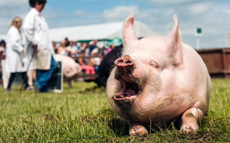 Обхохотаться. Соревнования в Йоркшире, Англия под названием «Человек и его свинья». животные, жизнь, фото
