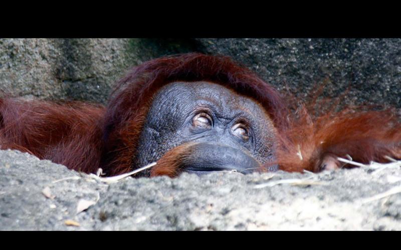 О чем думаешь? Орангутанг в зоопарке в штате Миссисипи. животные, жизнь, фото