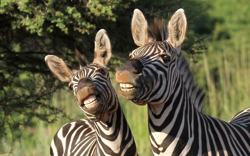 Профессиональные модели. Зебры в заповеднике в Южной Африке. животные, жизнь, фото
