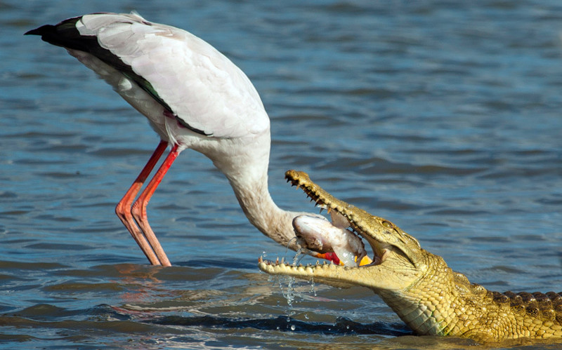 Дантист. Аист во время рыбалки крокодил на озере в Танзании. животные, жизнь, фото