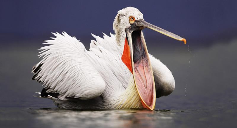 Челюсть отвисла. Кудрявый пеликан охотится за рыбой на озере Керкини в Греции. животные, жизнь, фото