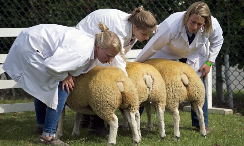 Хвосты на осмотр. Ветеринары изучают овец. животные, жизнь, фото