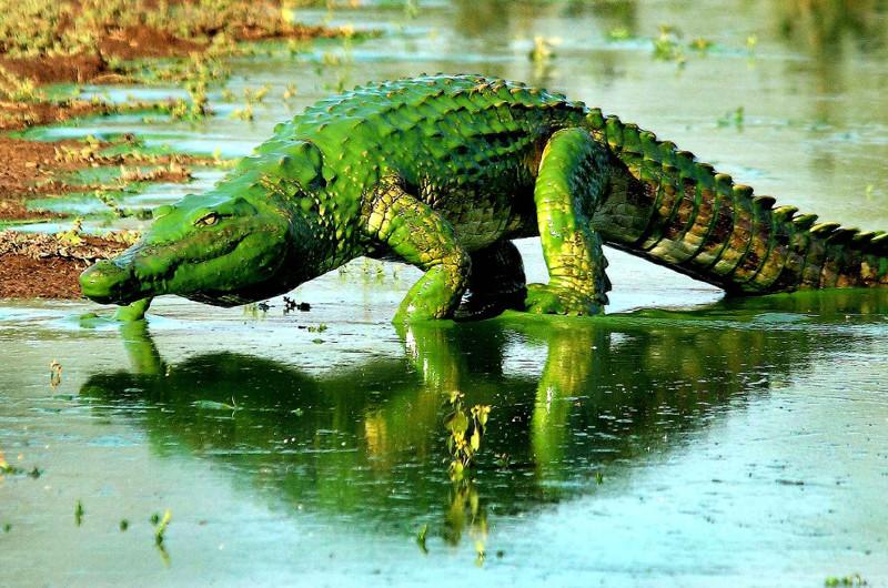 Зеленый динозавр. Крокодил, покрытый водорослями, в Национальном парке Крюгера, Южная Африка. животные, жизнь, фото