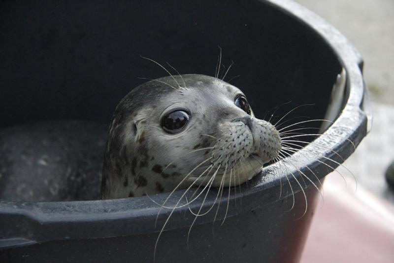 Роскошные усы. Молодой тюлень, Германия, 10 июля 2015. животные, жизнь, фото