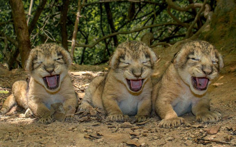 Лопнуть от смеха. Львята возле своего логова в Индии. животные, жизнь, фото