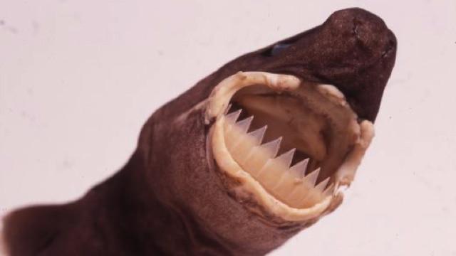 12. Большезубая сигарная акула мир, природа, факт