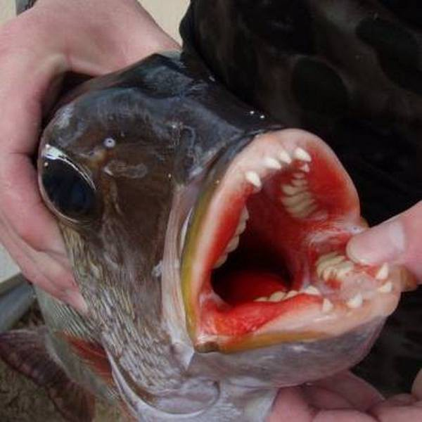 7. Рыба Му, чьи зубы похожи на человеческие мир, природа, факт
