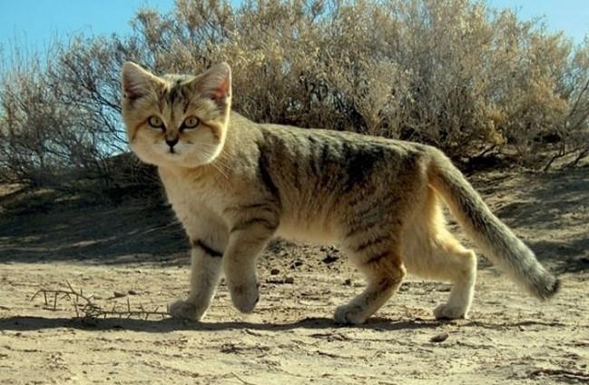 Барханный кот - кот, который всегда остается похожим на котенка животные, коты
