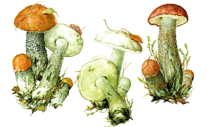 Подосиновики грибы, полезное, факты