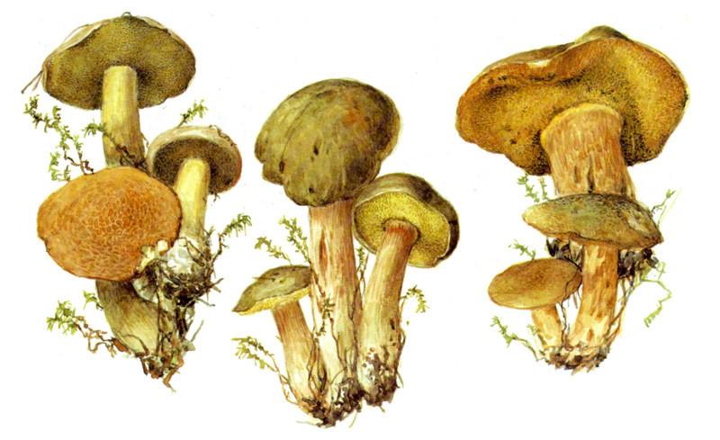 Моховики грибы, полезное, факты
