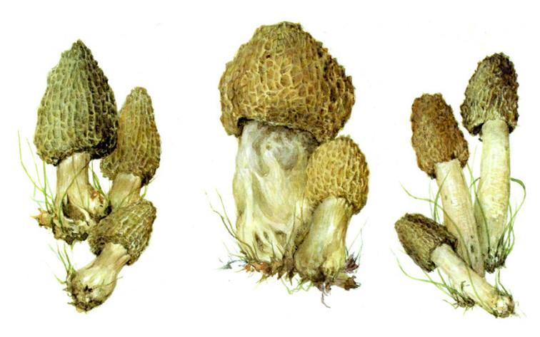 Сморчки грибы, полезное, факты