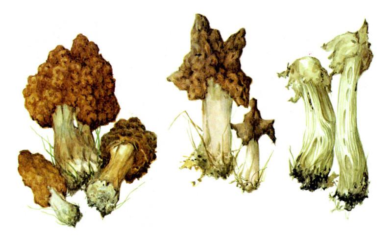 Строчки и лопастник грибы, полезное, факты