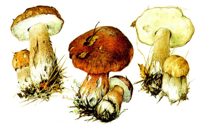 Белый гриб грибы, полезное, факты