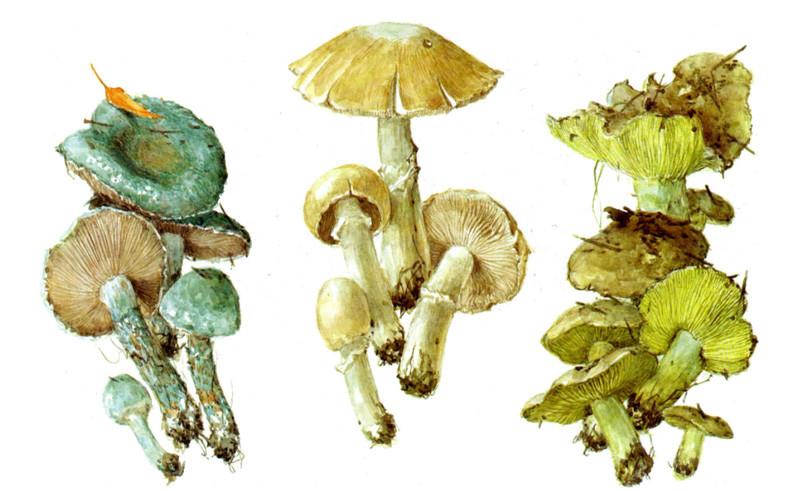 Малоизвестные пластинчатые грибы грибы, полезное, факты