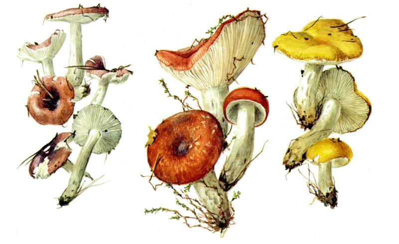 Сыроежки грибы, полезное, факты