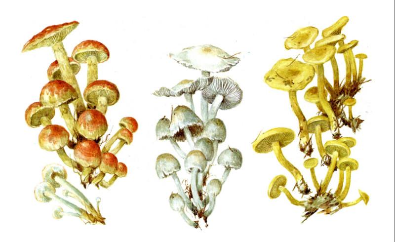 Ложные опята грибы, полезное, факты