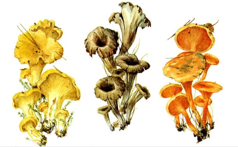 Лисички грибы, полезное, факты
