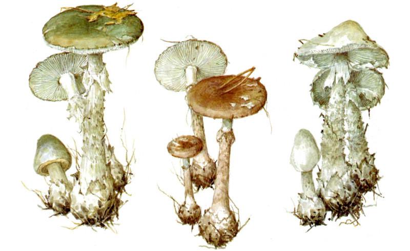 Мухоморы грибы, полезное, факты