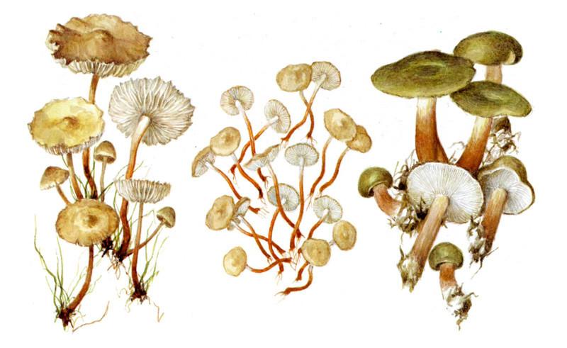 Негниючники и коллибия масляная грибы, полезное, факты