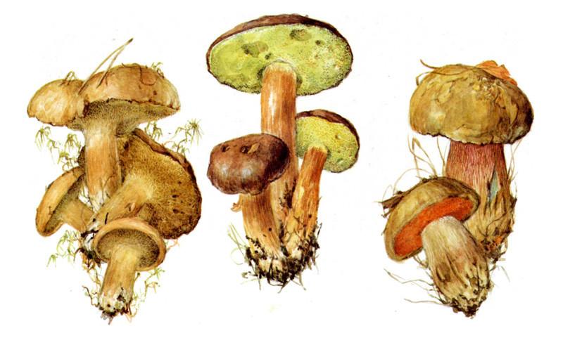 Козляк, польский гриб, дубовик обыкновенный грибы, полезное, факты