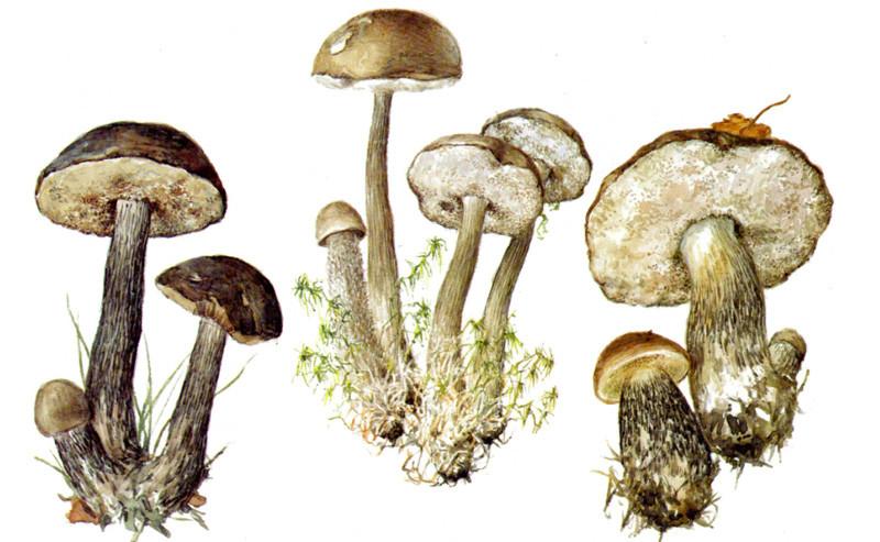Подберезовики грибы, полезное, факты