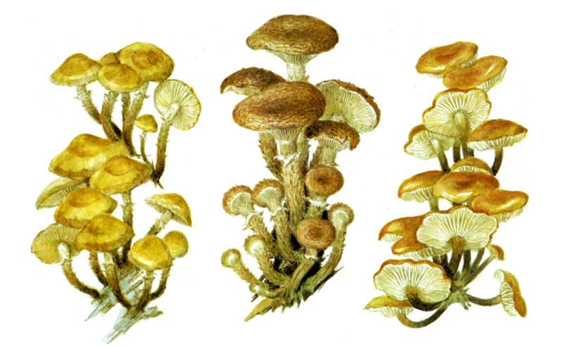 Опята грибы, полезное, факты