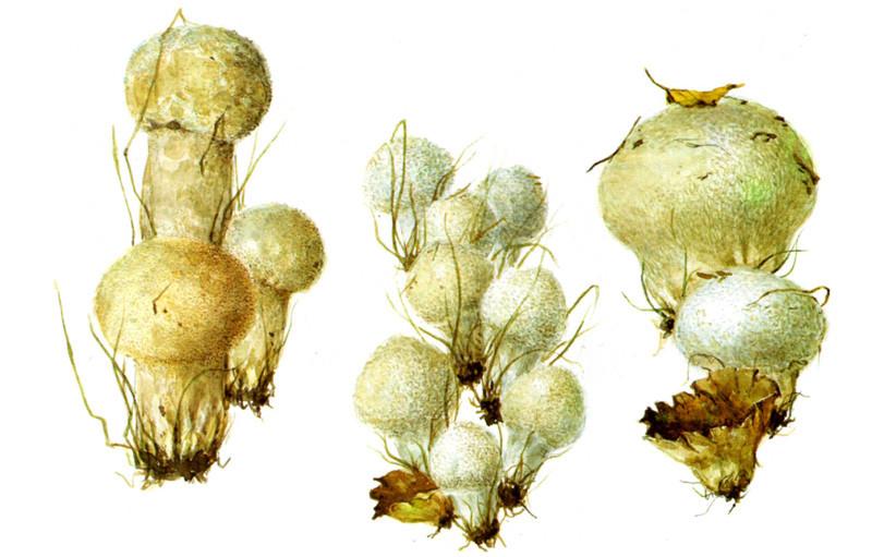 Дождевики и головачи грибы, полезное, факты