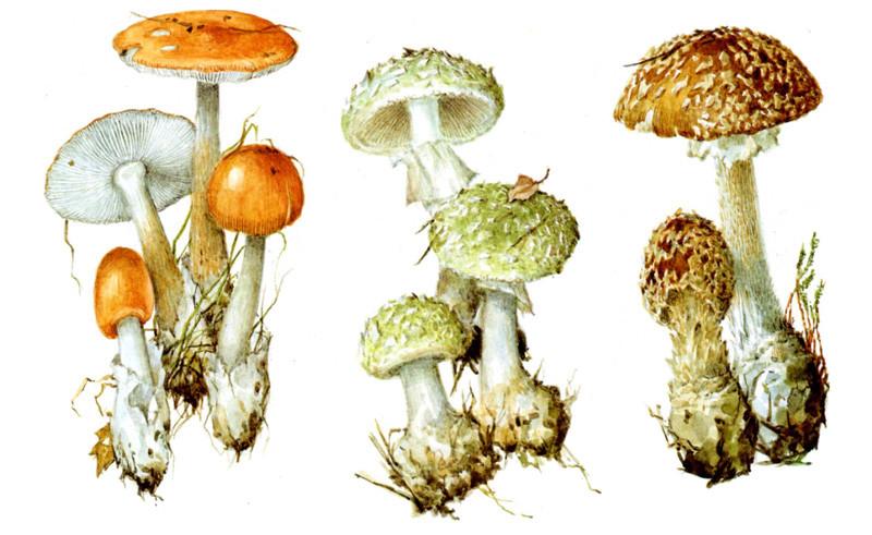 Мухоморы и съедобный поплавок грибы, полезное, факты