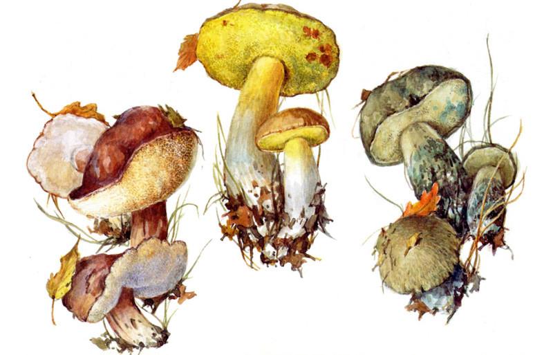 Полубелые грибы грибы, полезное, факты