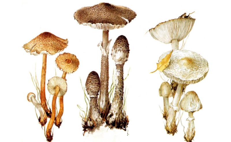 Грибы-зонтики грибы, полезное, факты