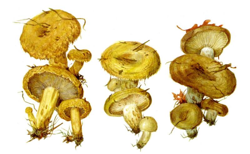 Рассказ о ста грибах в советских открытках грибы, полезное, факты
