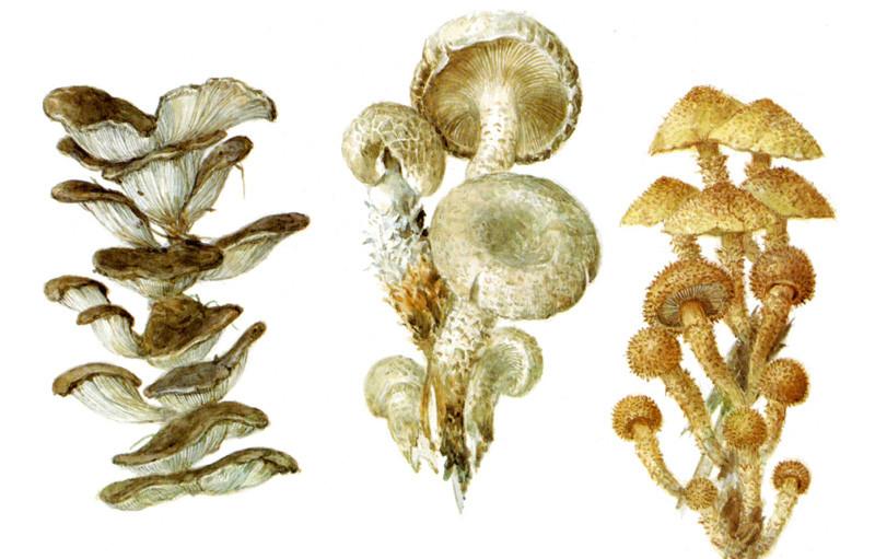 Грибы растущие на деревьях грибы, полезное, факты