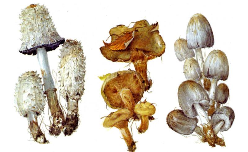 Навозники и свинушка грибы, полезное, факты
