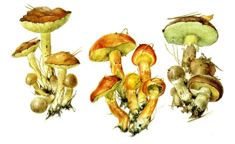 Маслята грибы, полезное, факты