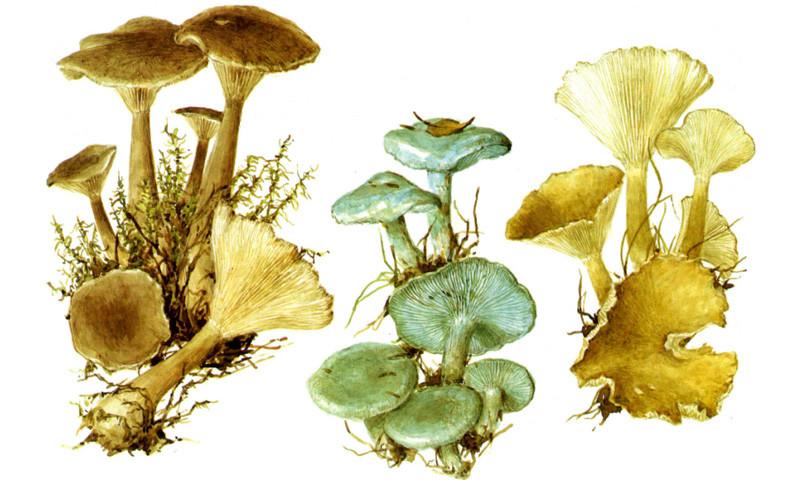 Говорушки грибы, полезное, факты