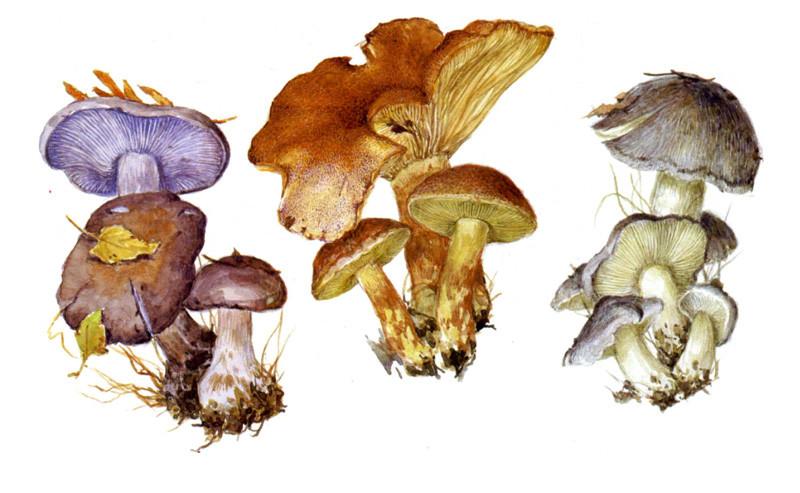 Рядовки грибы, полезное, факты