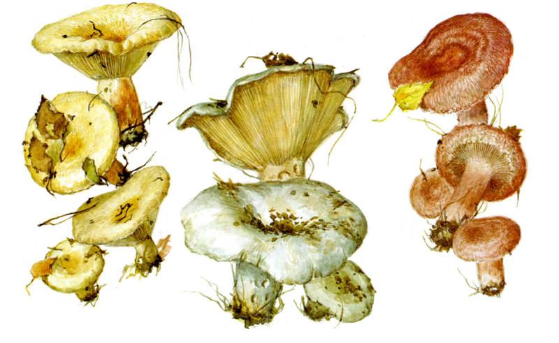 Волнушки и скрипица грибы, полезное, факты