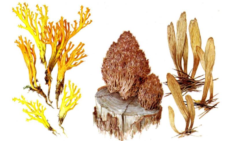 Рогатики грибы, полезное, факты