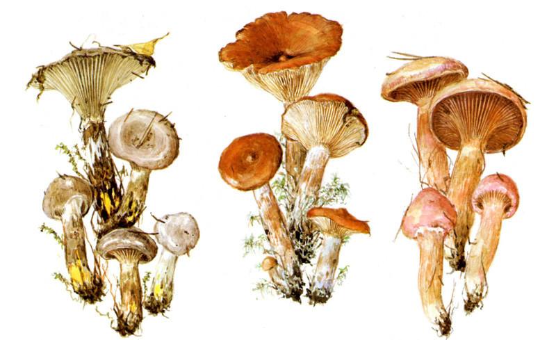 Мокрухи и горькушка грибы, полезное, факты