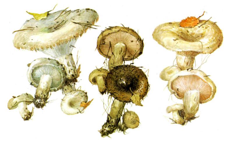 Грузди грибы, полезное, факты