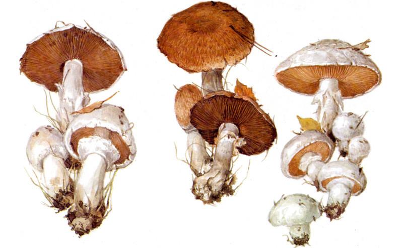 Шампиньоны грибы, полезное, факты