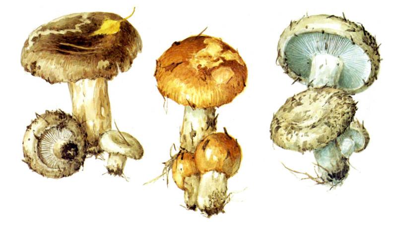 Подгруздки и валуй грибы, полезное, факты